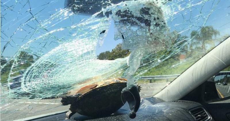 سلحفاة تحطم زجاج سيارة تقودها امراة