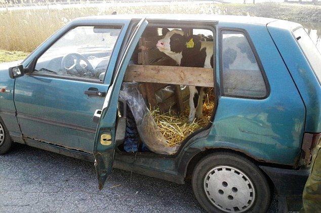 سيارة فيات بونتو تتحول إلى حظيرة مواشي