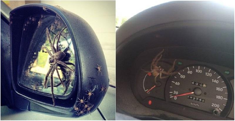 عناكب تغزو سيارة وتحولها إلى عش