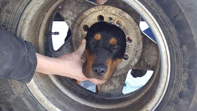 كلب يحشر رأسه في إطار سيارة