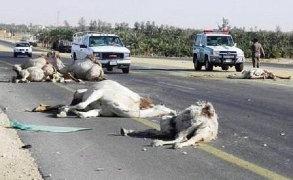 شاحنة تدهس 12 ناقة في السعودية