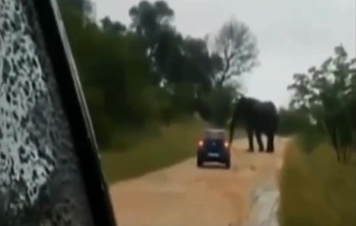 فيل ضخم يهاجم سيارة فولكس واجن صغيرة ويقلبها