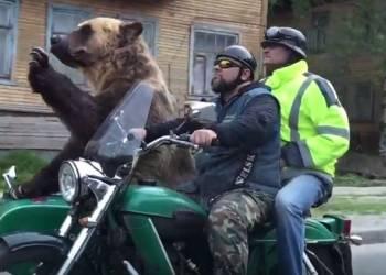 شاهد دب يركب دراجة نارية على الطريق في روسيا