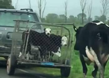 فيديو مؤثر لبقرة تطارد سيارة أخذت صغارها
