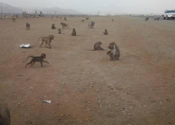 شاهد مجموعة كبيرة من القرود تقطع طريقا في السعودية