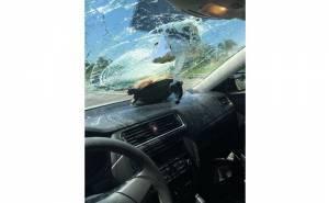 سلحفاة تحطم زجاج سيارة فولكس واجن