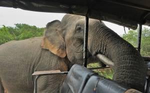 فيل يهاجم سيارة بشراسة ويفزع ركابها