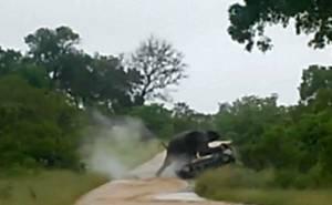 الفيل يهاجم السيارة بعد قلبها