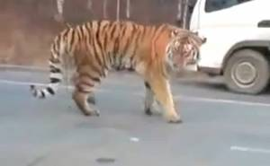 نمر يتجول على طريق في روسيا