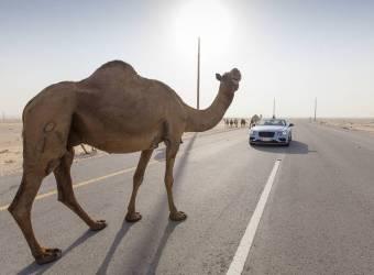 بنتلي كونتيننتال تسابق قطار الصحراء في السعودية