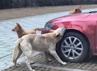 فولكس فاجن جيتا تتعرض لهجوم الكلاب الضالة