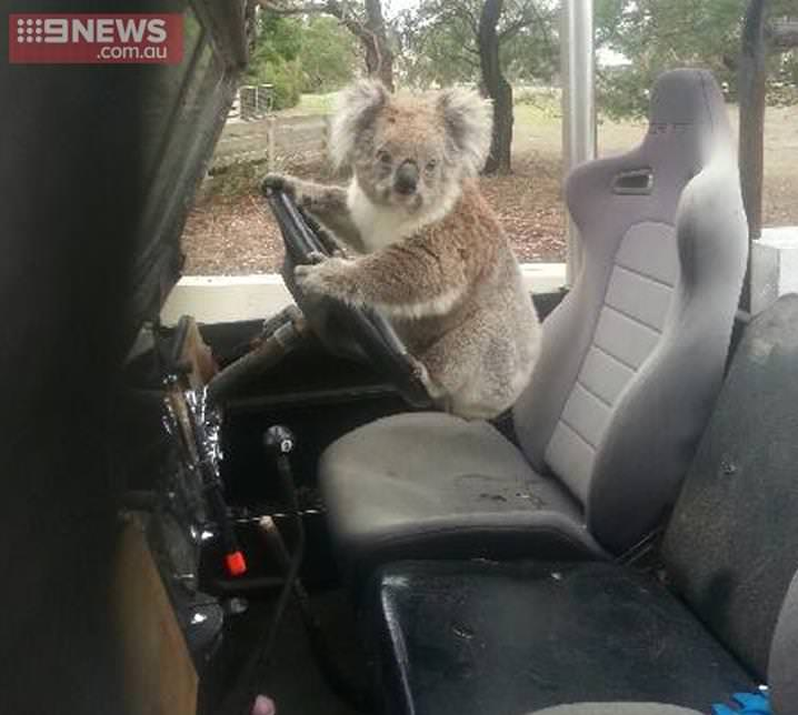حيوان الكوالا يحاول قيادة لاندروفر أسترالية