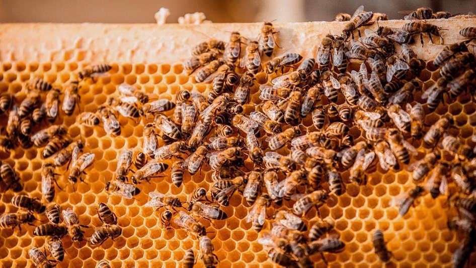 النحل